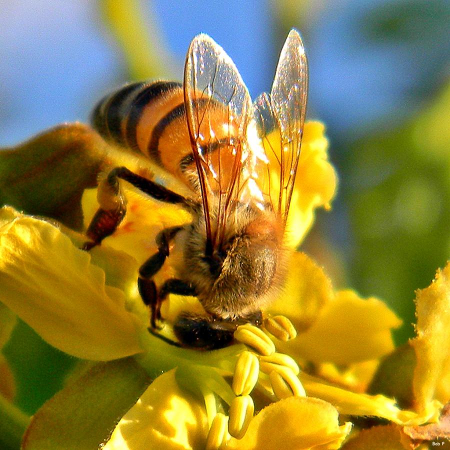 Honey Bee Sunrise