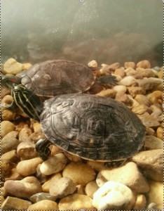 Roese Saves Turtle
