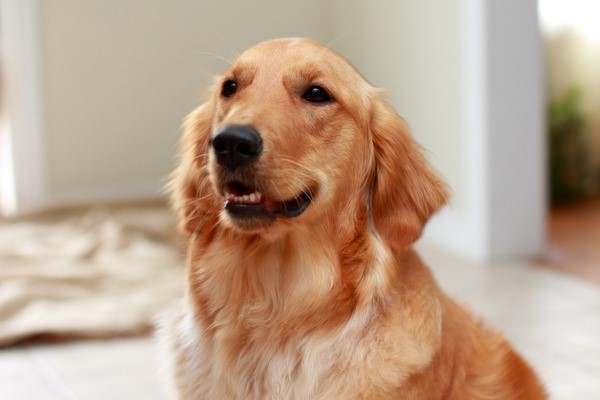 Would Dogs be Beneficial in The Classroom?